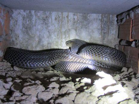 Sóc Trăng: Ông tỷ phú nông dân nuôi nhiều rắn hổ mang to bự nhất miền Tây - Ảnh 3.