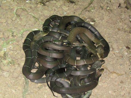 Sóc Trăng: Ông tỷ phú nông dân nuôi nhiều rắn hổ mang to bự nhất miền Tây - Ảnh 5.