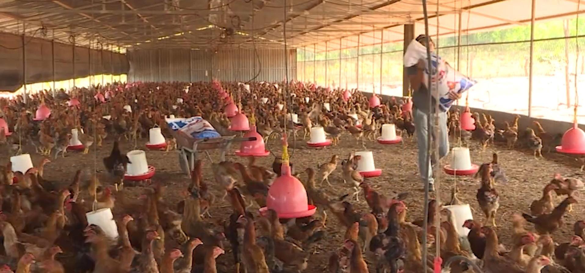 Hiệu quả từ ứng dụng công nghệ sinh học vào chăn nuôi gà - Ảnh 2.