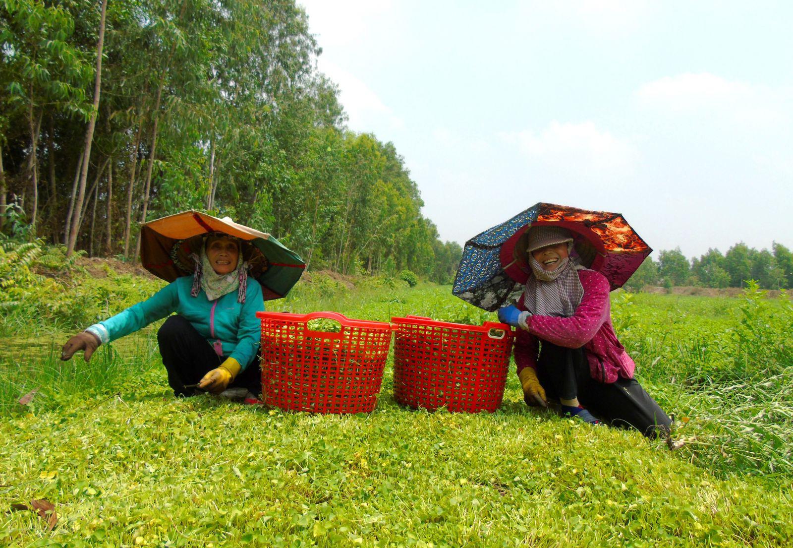 Bỏ trồng lúa và chanh chuyển sang trồng rau má, dân ở xã Hòa Khánh Tây cứ thế mà khấm khá - Ảnh 1.