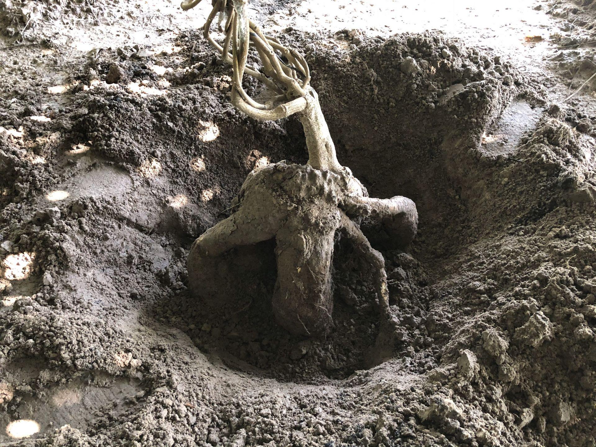Châu Thành: Trồng loại củ dài ngoẵng, to đùng, xưa để cứu đói nay để làm giàu - Ảnh 3.