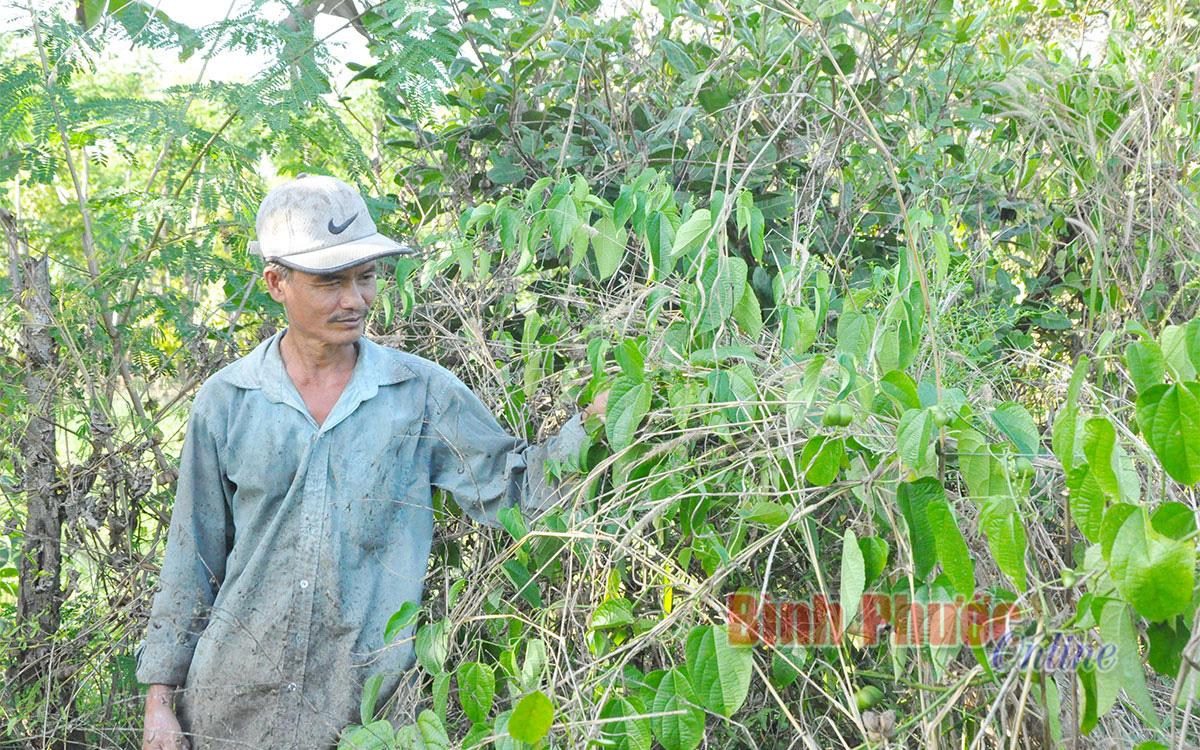"""Bình Phước: Trồng cây lạ mang tên cây sachi, bán giống nói như """"rót mật vào tai"""", dân tự phát dẫn tới tự hại - Ảnh 1."""