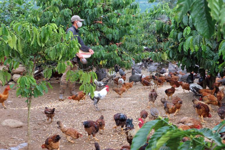Lâm Đồng: Dưới tán cà phê nuôi thứ gà lạ bay như chim, không phải dọn cỏ bỏ phân, ông nông dân giàu hẳn lên - Ảnh 1.