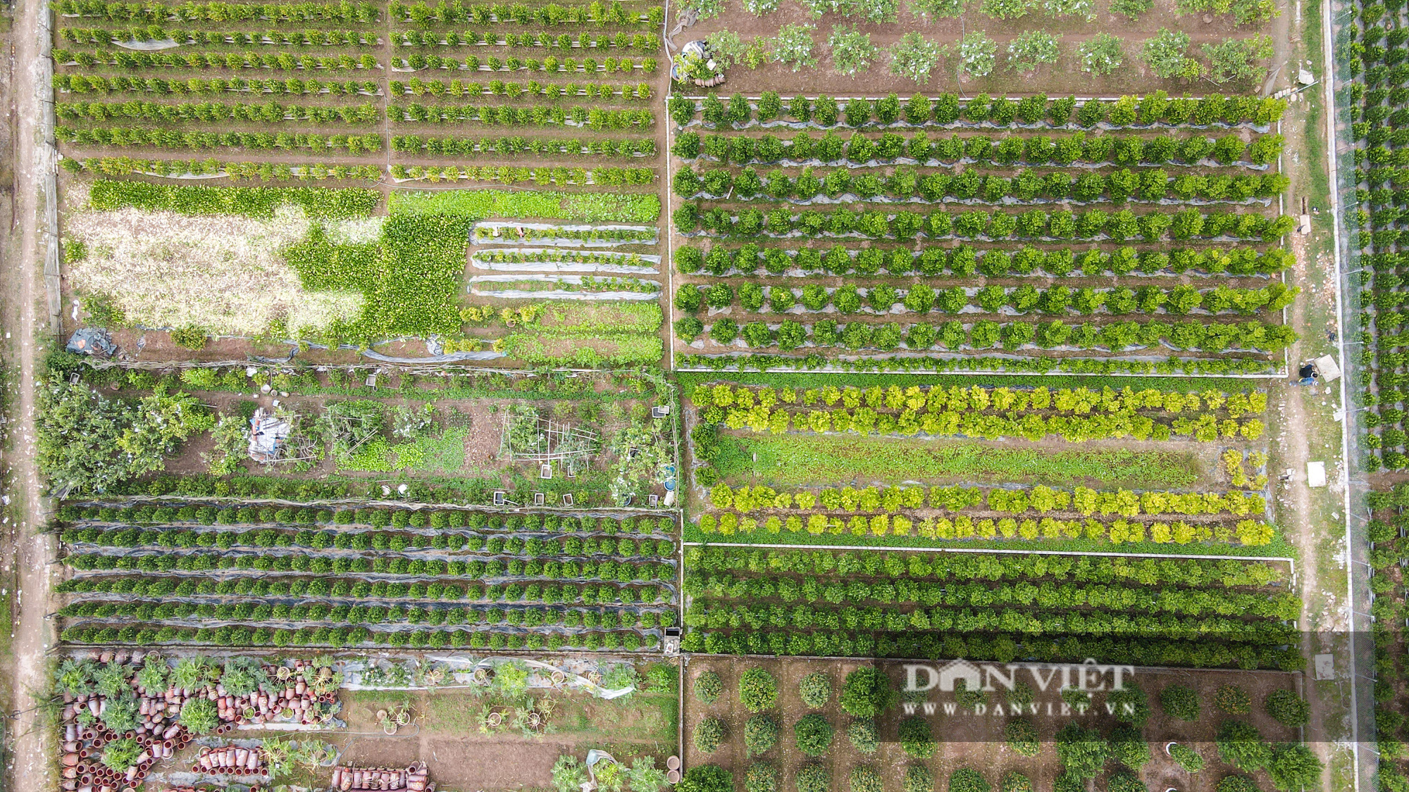 Quýt cảnh giảm giá sâu người trồng ngậm ngùi chịu lỗ - Ảnh 3.