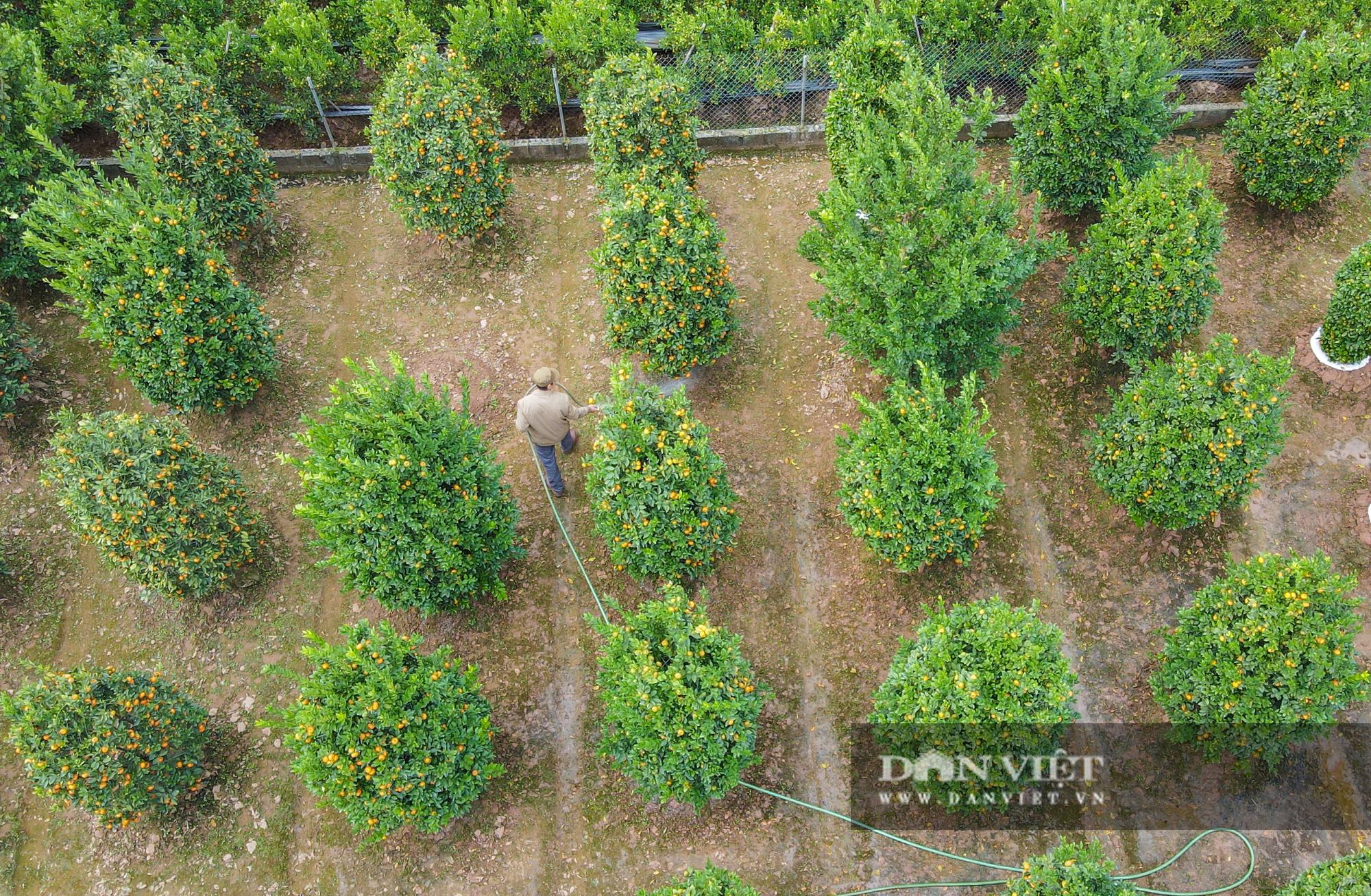 Quýt cảnh giảm giá sâu người trồng ngậm ngùi chịu lỗ - Ảnh 4.