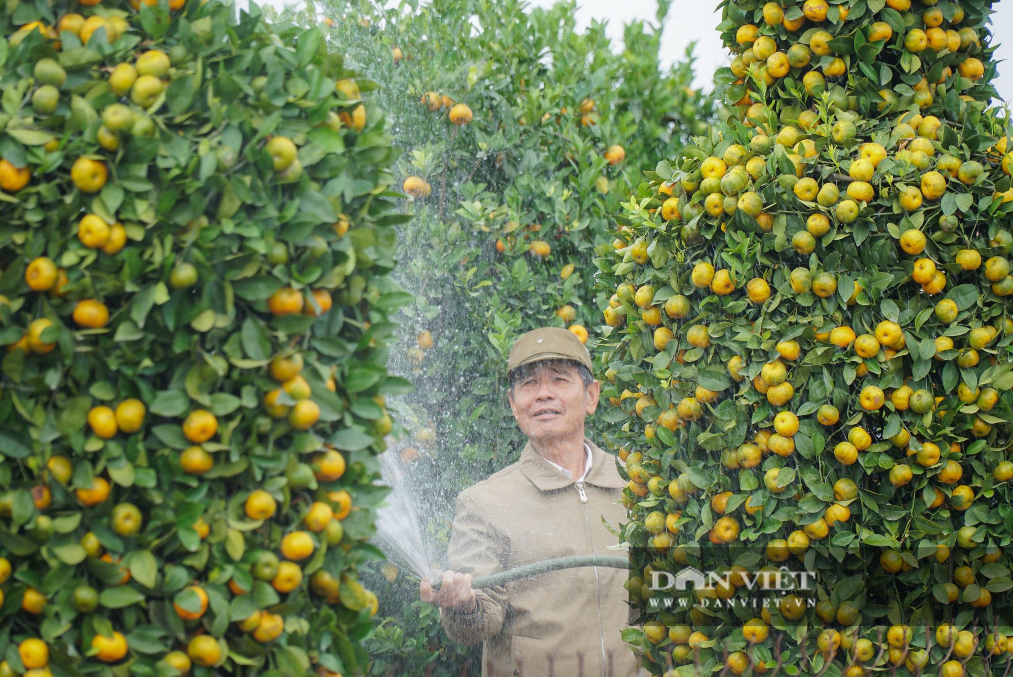 Quýt cảnh giảm giá sâu người trồng ngậm ngùi chịu lỗ - Ảnh 8.