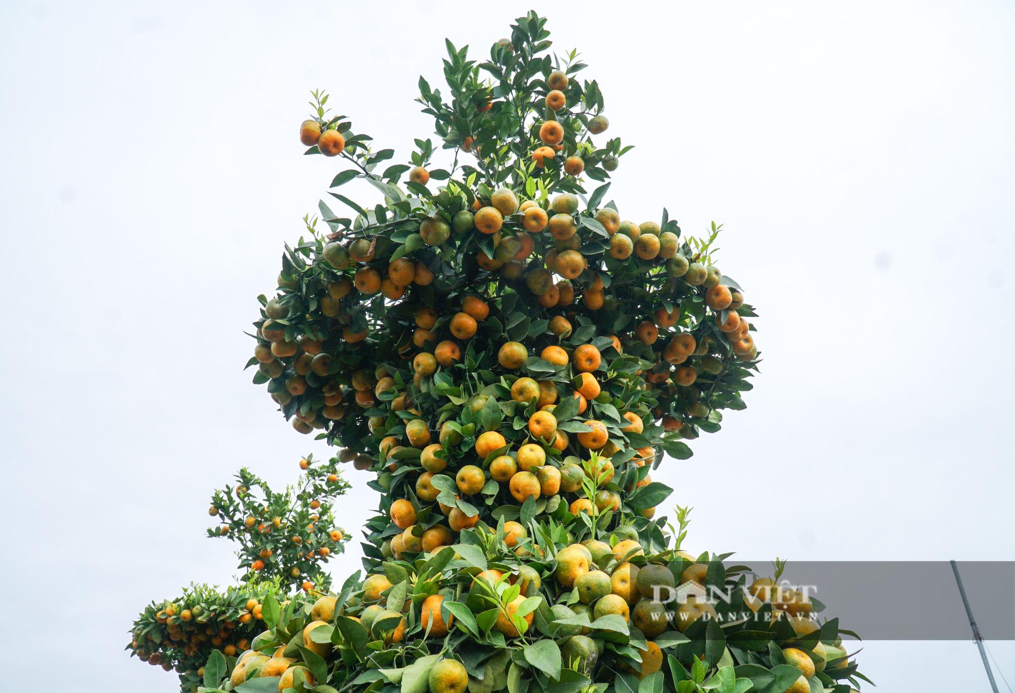 Quýt cảnh giảm giá sâu người trồng ngậm ngùi chịu lỗ - Ảnh 10.