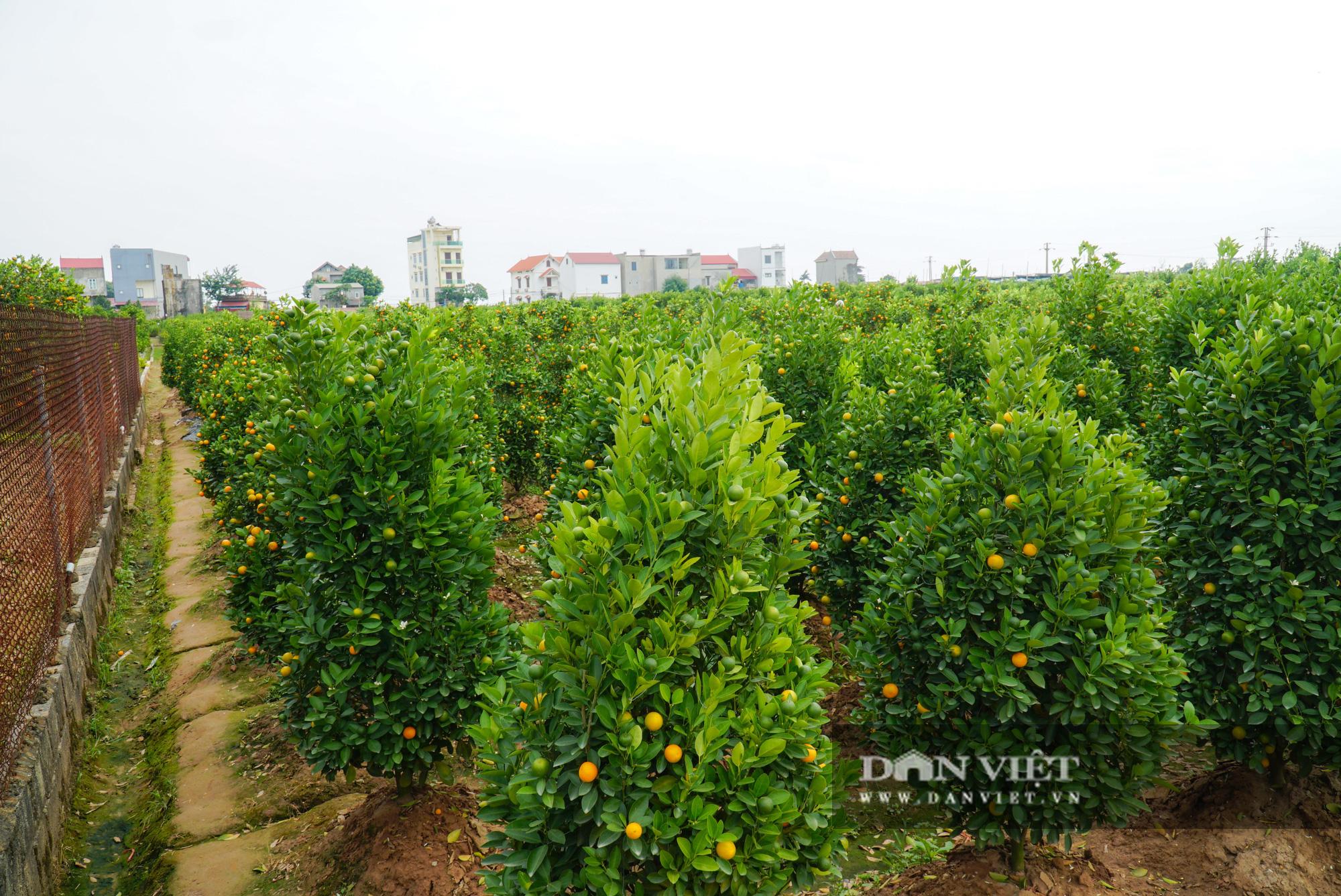 Quýt cảnh giảm giá sâu người trồng ngậm ngùi chịu lỗ - Ảnh 12.