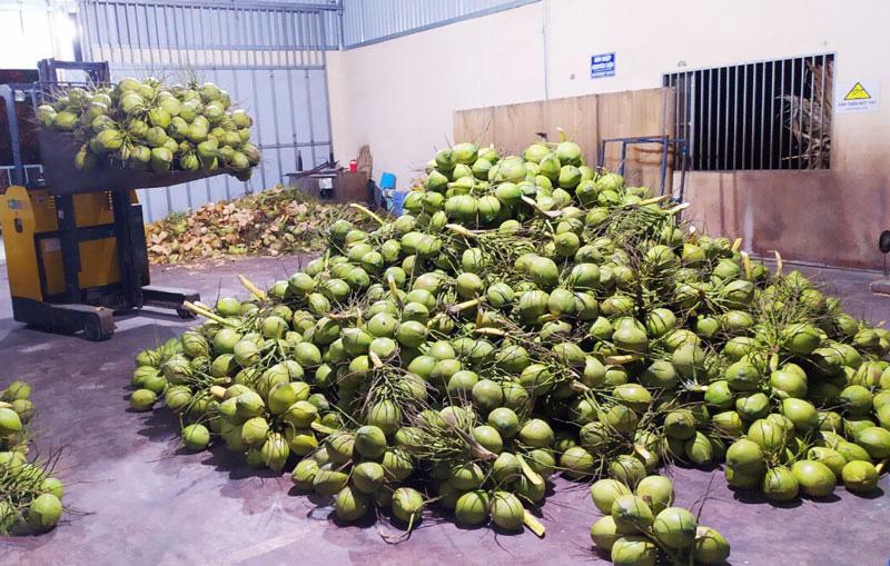 """Bến Tre: Một hệ thống siêu thị nước ngoài đặt mua 10 triệu trái dừa/năm, vì sao tìm """"mỏi mắt"""" không đủ? - Ảnh 4."""