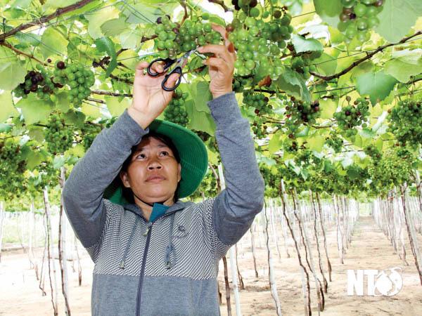 Ninh Thuận: Trồng cây nho lạ ghép lên gốc cây nho dại, ra trái quá trời, quả xanh lét mà ăn vừa ngọt vừa thơm - Ảnh 1.