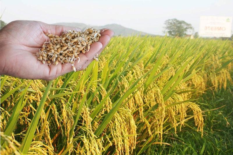 Những tỉnh nào được hỗ trợ miễn phí hạt giống để khắc phục thiệt hại do thiên tai? - Ảnh 1.
