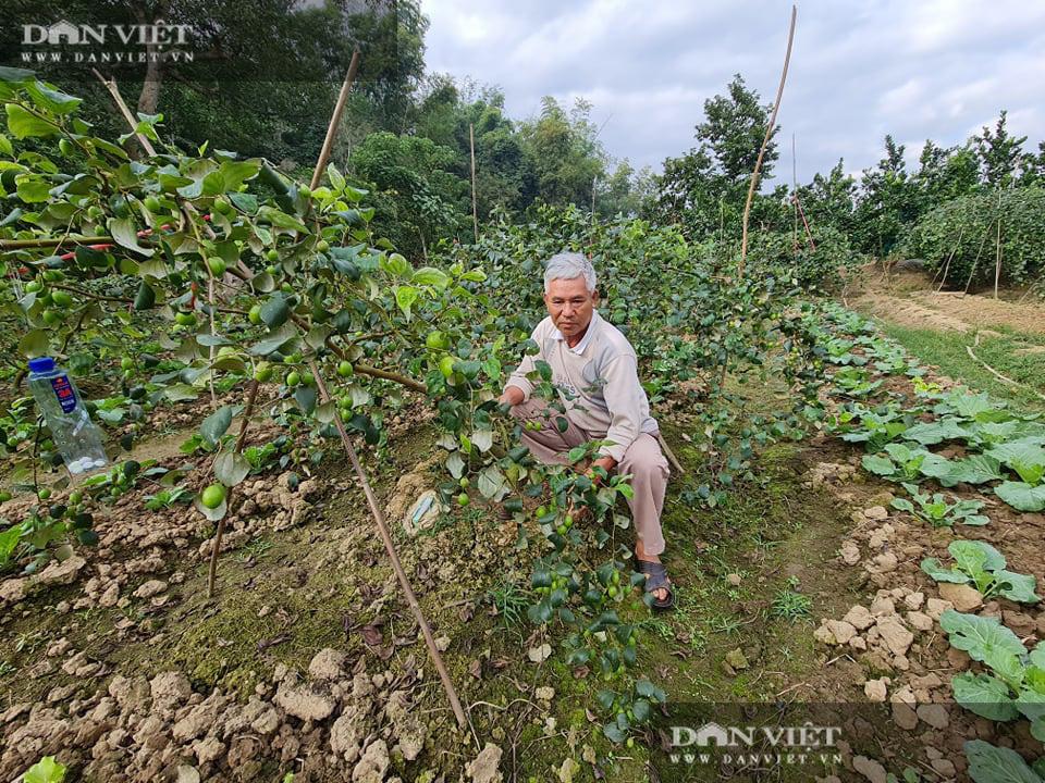 Điện Biên: Giám đốc HTX rau xanh trồng táo lê cho trái to đùng, ngọt lịm - Ảnh 5.