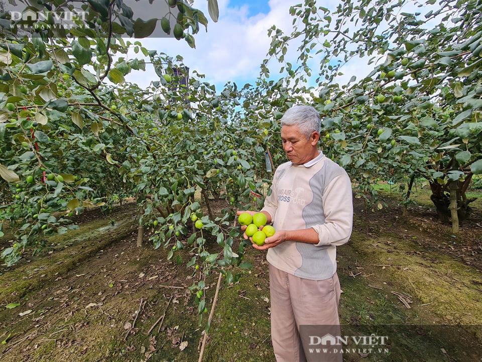 Điện Biên: Giám đốc HTX rau xanh trồng táo lê cho trái to đùng, ngọt lịm - Ảnh 3.