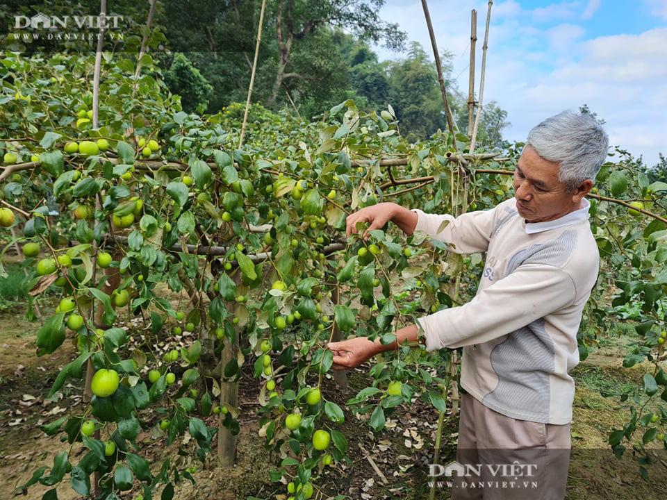 Điện Biên: Giám đốc HTX rau xanh trồng táo lê cho trái to đùng, ngọt lịm - Ảnh 1.