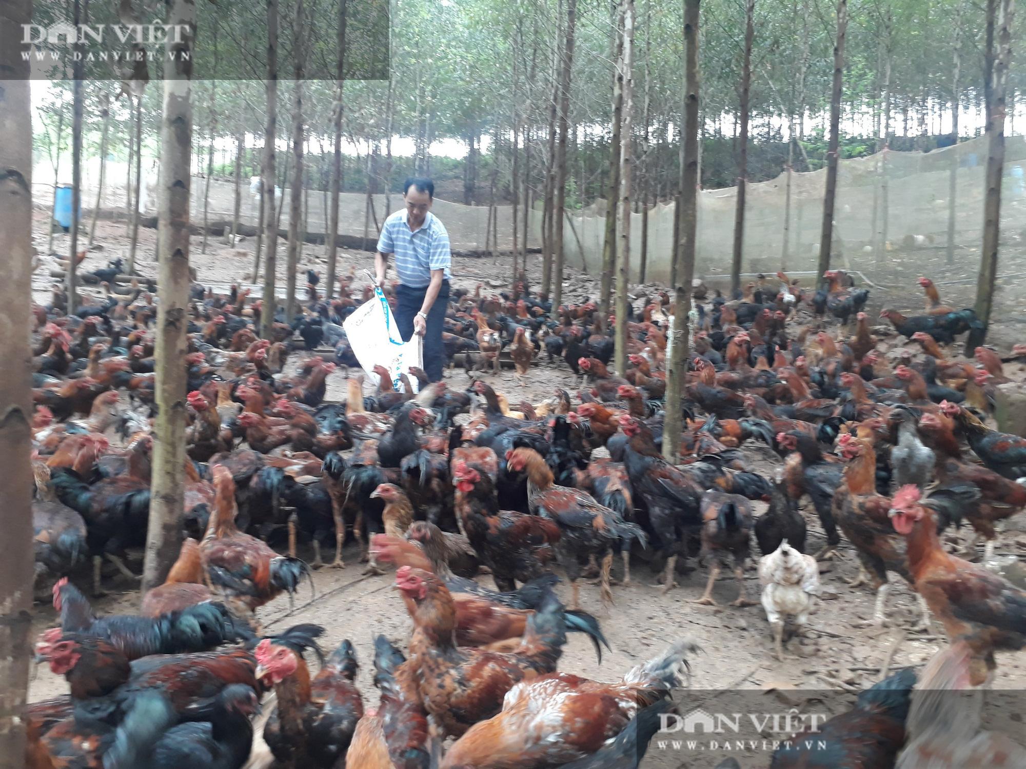 """""""Bắt"""" đàn gà khổng lồ leo đồi kiếm ăn mỗi ngày, anh nông dân Yên Thế thu ngay 5 tỷ đồng - Ảnh 2."""