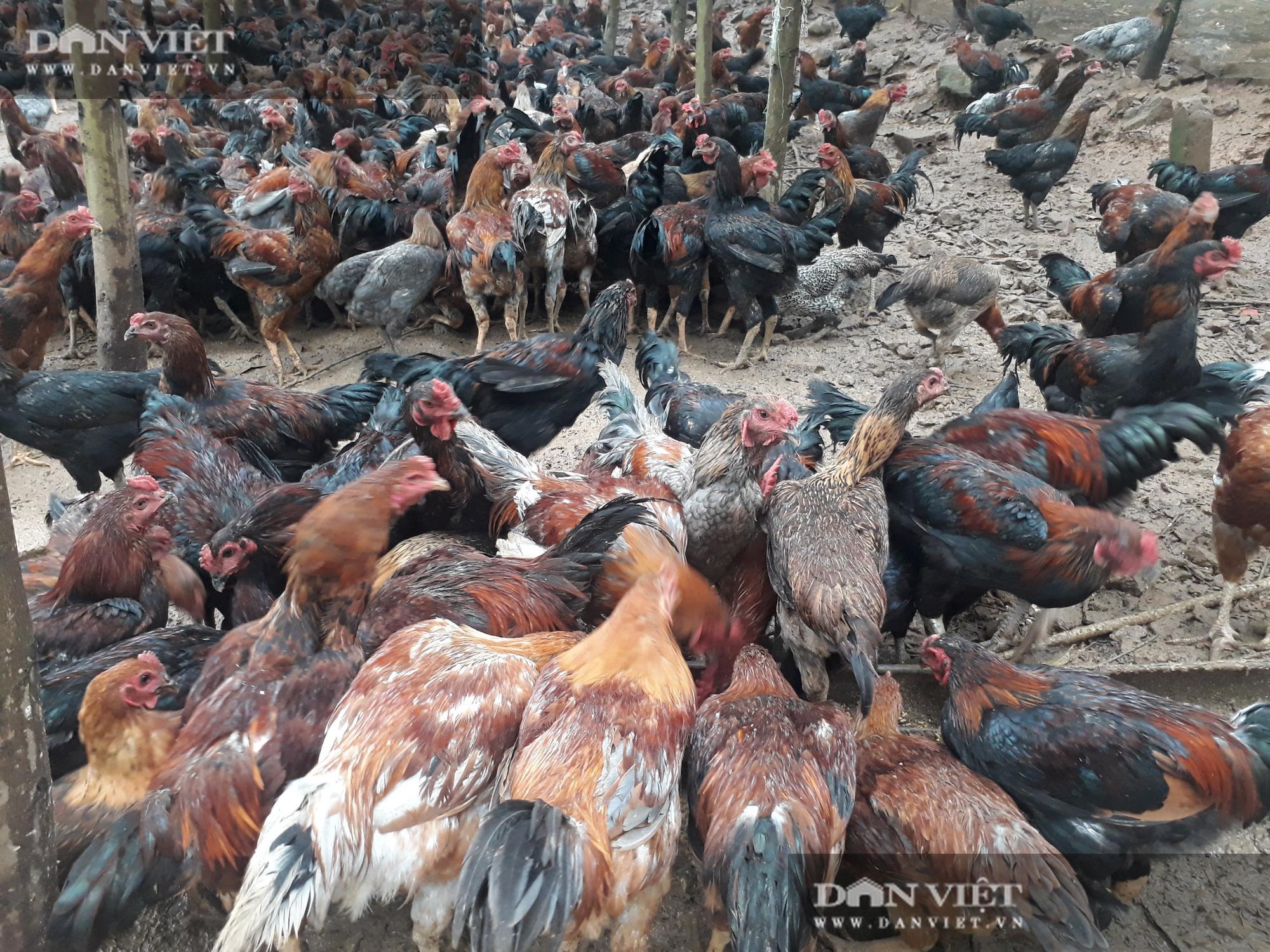"""""""Bắt"""" đàn gà khổng lồ leo đồi kiếm ăn mỗi ngày, anh nông dân Yên Thế thu ngay 5 tỷ đồng - Ảnh 3."""
