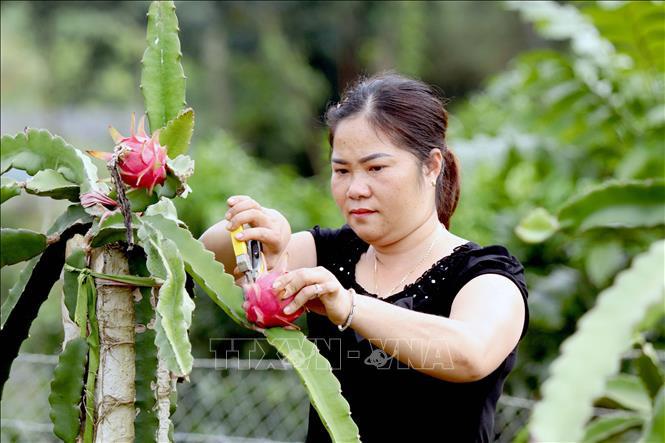 Thu nhập cao nhờ liên kết trồng thanh long ruột đỏ - Ảnh 1.