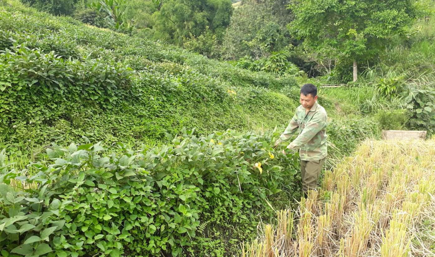 Chuyện lạ Lai Châu: Trồng đậu tương xen lúa, nông dân bất ngờ thu được tiền nhiều hơn - Ảnh 1.