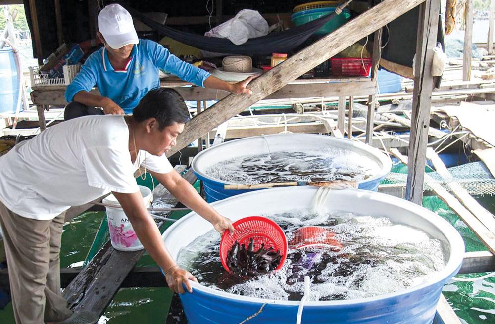 Kiên Giang: Rủ nhau góp vốn nuôi cá đặc sản trên biển, nông dân bất ngờ nhận được điều này - Ảnh 1.