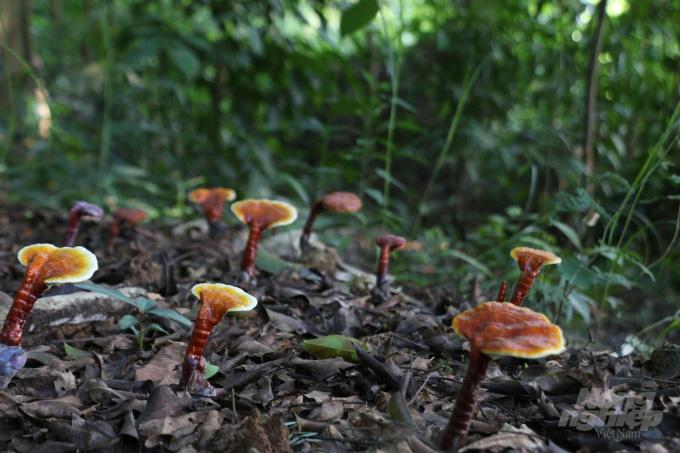 Bắc Giang: Đỏ như ngọc, mọc trong rừng, trước nhiều vô số, nay cạn kiệt là thứ nấm gì ở huyện Sơn Động? - Ảnh 1.