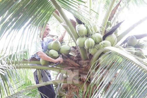 Để phục hồi vườn dừa sau hạn mặn, tỉnh Bến Tre đề nghị Thủ tướng Chính phủ xem xét hỗ trợ mấy chục tỷ đồng? - Ảnh 1.