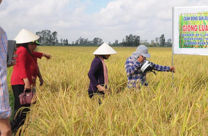 ĐBSCL: Giá lúa cấp thấp tăng cao, vượt cả lúa thơm - Ảnh 2.