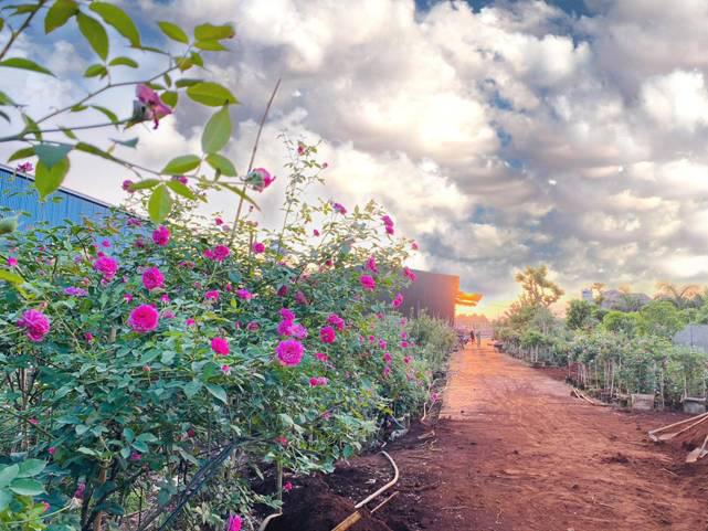 Đắk Lắk: Tốt nghiệp đại học, 9X bỏ việc ở phố về quê trồng vườn hoa hồng quý hiếm, thơm khắp xóm, ai cũng khen - Ảnh 1.