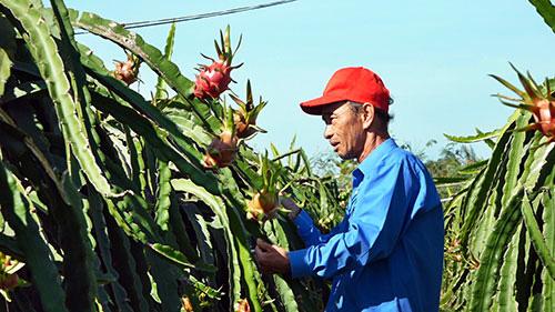 Bình Thuận: Đến khổ, nông dân chong đèn trồng thanh long ra trái nghịch vụ, ngờ đâu hy vọng tan biến vì điều này - Ảnh 1.