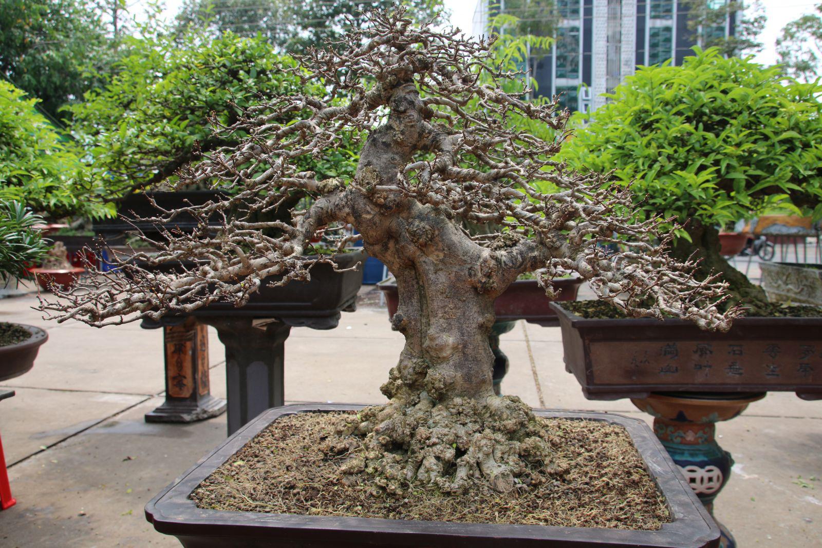 Long An: Nghề makeup cho cây kiểng bonsai, vừa làm vừa chơi cũng ra tiền, đến đàn bà con gái còn ham - Ảnh 3.