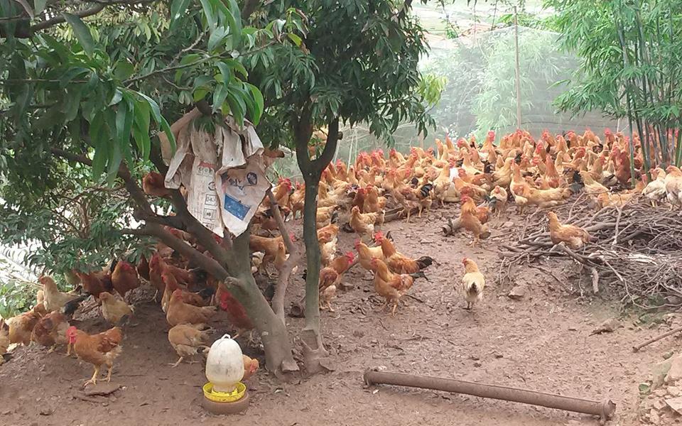 Hải Dương: Nuôi gà đặc sản thả rông trên đồi, bán gần 10.000 tấn/năm, nhiều nông dân là triệu phú - Ảnh 2.