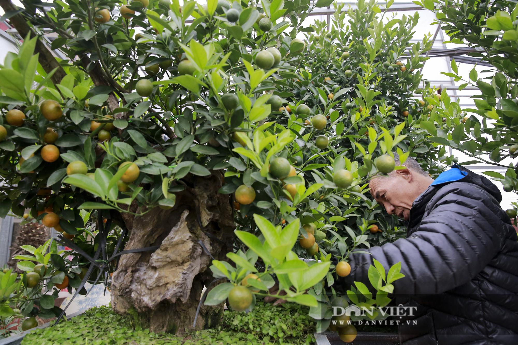 Cực phẩm quất ghép gỗ lũa giá ngàn đô thu hút giới nhà giàu chơi Tết Tân Sửu 2021 - Ảnh 5.