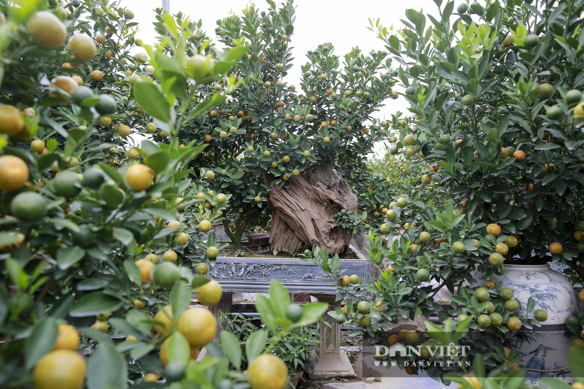 Cực phẩm quất ghép gỗ lũa giá ngàn đô thu hút giới nhà giàu chơi Tết Tân Sửu 2021 - Ảnh 6.