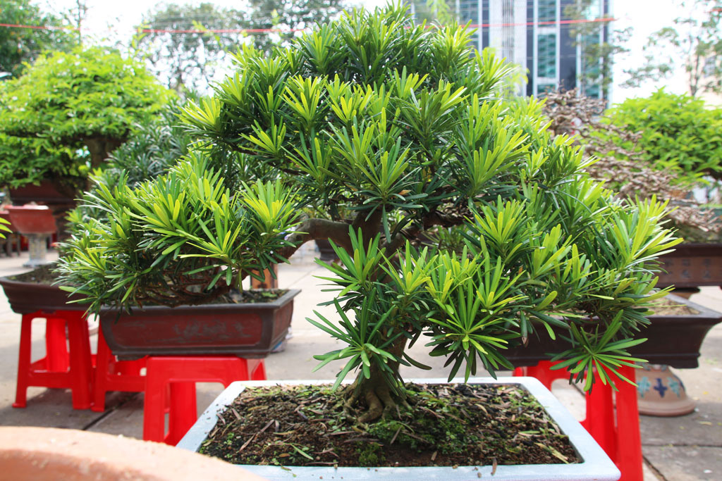 Long An: Nghề makeup cho cây kiểng bonsai, vừa làm vừa chơi cũng ra tiền, đến đàn bà con gái còn ham - Ảnh 5.