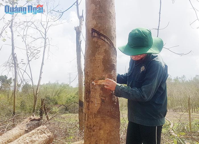 """Quảng Ngãi: Trong vòng 20 năm dân huyện Bình Sơn 2 lần trồng cao su, vì sao loài cây này giờ đây hết """"đất sống""""? - Ảnh 1."""