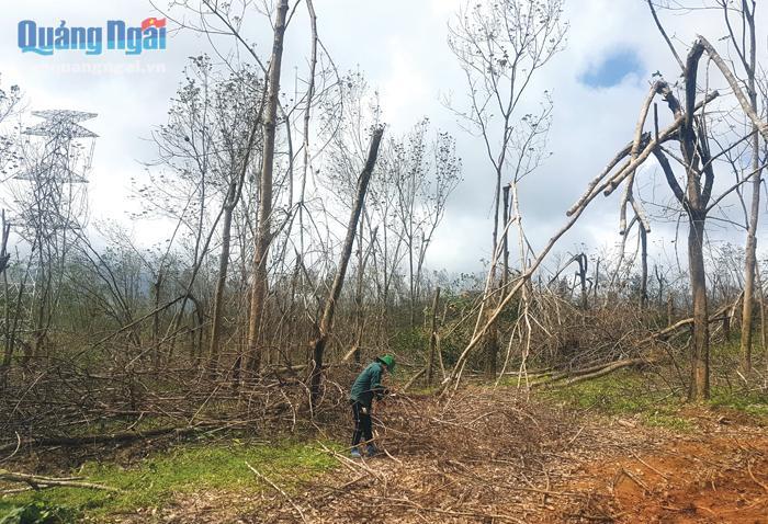 """Quảng Ngãi: Trong vòng 20 năm dân huyện Bình Sơn 2 lần trồng cao su, vì sao loài cây này giờ đây hết """"đất sống""""? - Ảnh 3."""