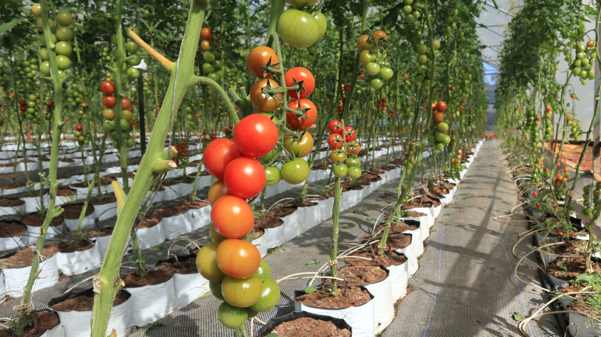 Hơn 15 năm phát triển NNCNC ở Lâm Đồng Bài 3: Nông nghiệp hữu cơ sẽ là hướng đi mới - Ảnh 1.