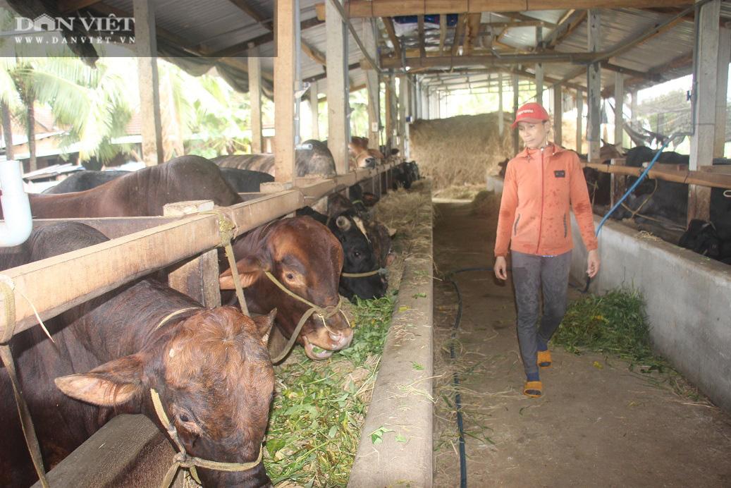"""Trang trại nuôi bò vỗ béo """"khủng"""", hàng trăm con xếp hàng đều tăm tắp của ông nông dân tỉnh Bình Định"""