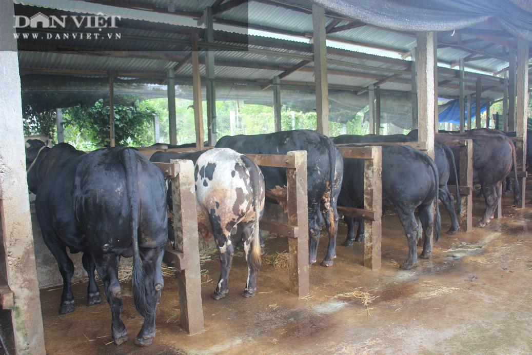 """Cận cảnh trang trại nuôi bò vỗ béo """"khủng"""", hàng trăm con xếp hàng đều tăm tắp của ông nông dân Bình Định - Ảnh 4."""