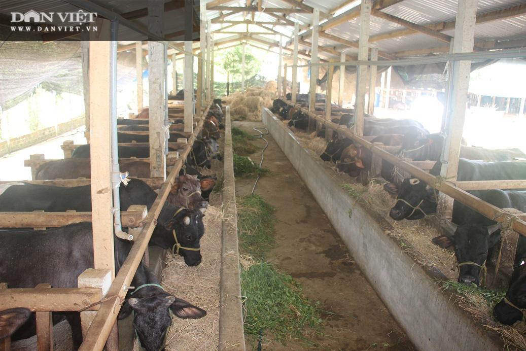 """Cận cảnh trang trại nuôi bò vỗ béo """"khủng"""", hàng trăm con xếp hàng đều tăm tắp của ông nông dân Bình Định - Ảnh 3."""
