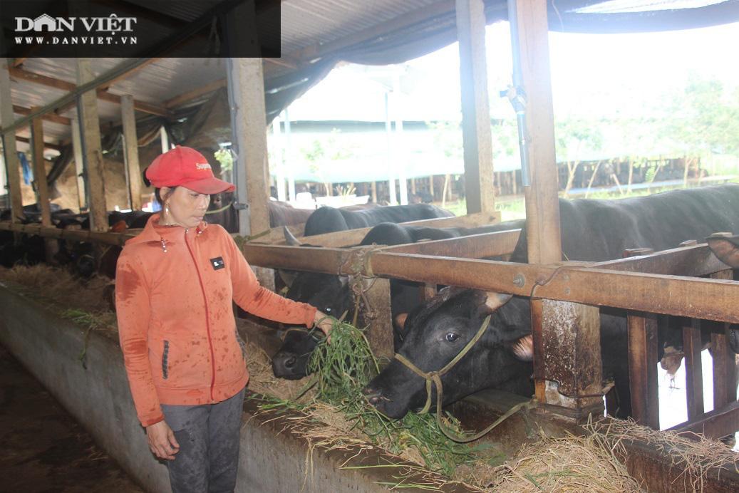 """Cận cảnh trang trại nuôi bò vỗ béo """"khủng"""", hàng trăm con xếp hàng đều tăm tắp của ông nông dân Bình Định - Ảnh 2."""