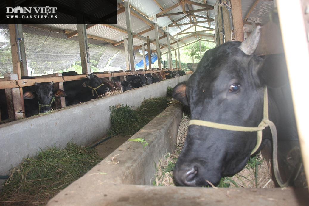 """Cận cảnh trang trại nuôi bò vỗ béo """"khủng"""", hàng trăm con xếp hàng đều tăm tắp của ông nông dân Bình Định - Ảnh 1."""