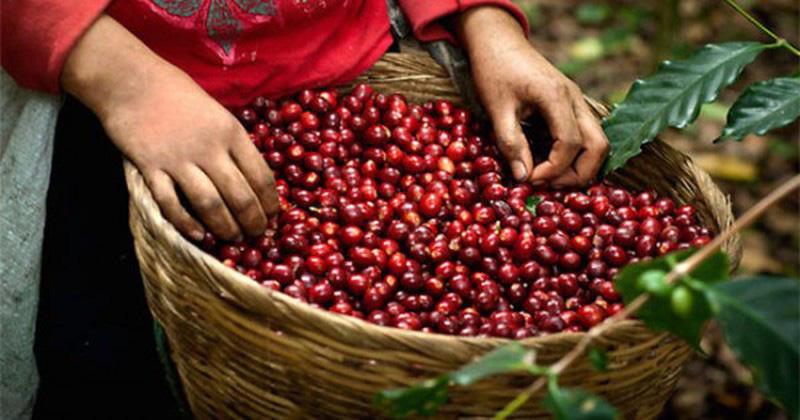 Giá nông sản hôm nay: Miền Bắc đứng đầu cả nước về giá lợn hơi, cà phê có dấu hiệu tích cực  - Ảnh 1.