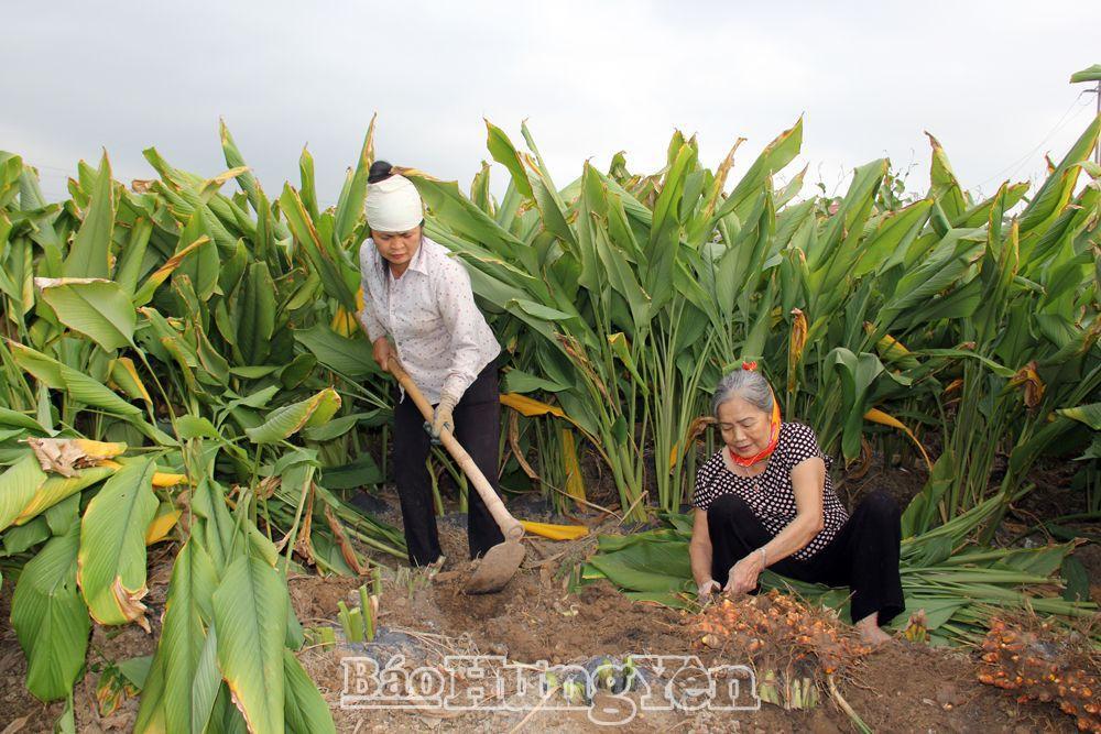 Hưng Yên: Vùng đất bãi sông trồng thứ cây tốt quá đầu người, cuối năm cuốc 1 nhát bật lên cả chùm củ vàng - Ảnh 1.