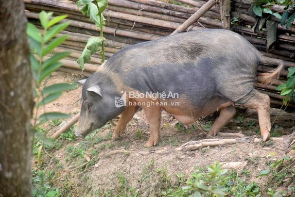 Nghệ An: Giống lợn đặc sản gì mà cả xã chỉ nuôi được hơn 1.000 con, giá cao không có mà bán? - Ảnh 3.