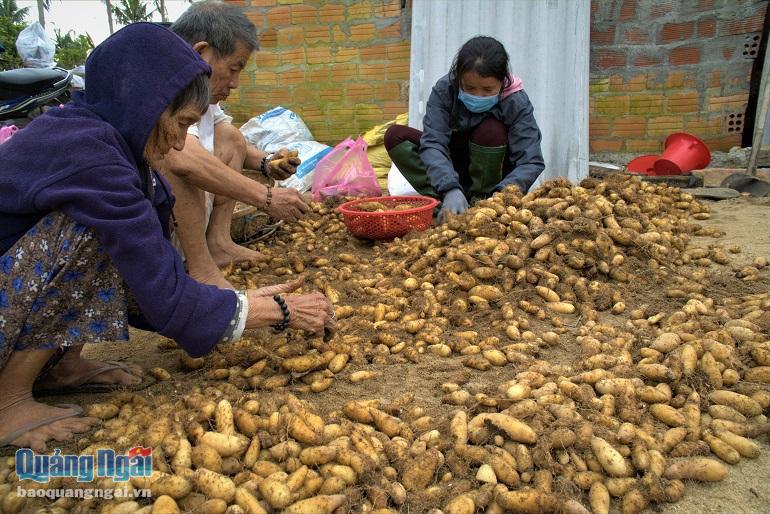 Quảng Ngãi: Nhiều nơi mất mùa rau quả, tôm cá, ở đây dân đào thứ cây ra nhiều củ, trúng mùa được giá - Ảnh 1.