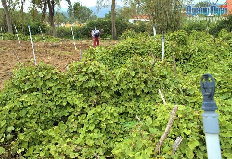 Quảng Ngãi: Nhiều nơi mất mùa rau quả, tôm cá, ở đây dân đào thứ cây ra nhiều củ, trúng mùa được giá - Ảnh 3.