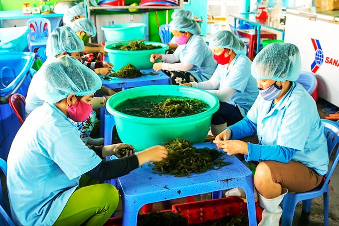 """Khánh Hòa: Rong nho là loài """"cây"""" gì mà dân trồng trên đồng nước mặn, cứ 1 sào thu tới 90 triệu? - Ảnh 1."""