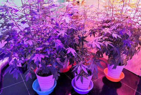Lâm Đồng: Tình hình trồng cây chứa chất ma túy diễn biến phức tạp, một năm phát hiện hơn 800 cây cần sa - Ảnh 3.