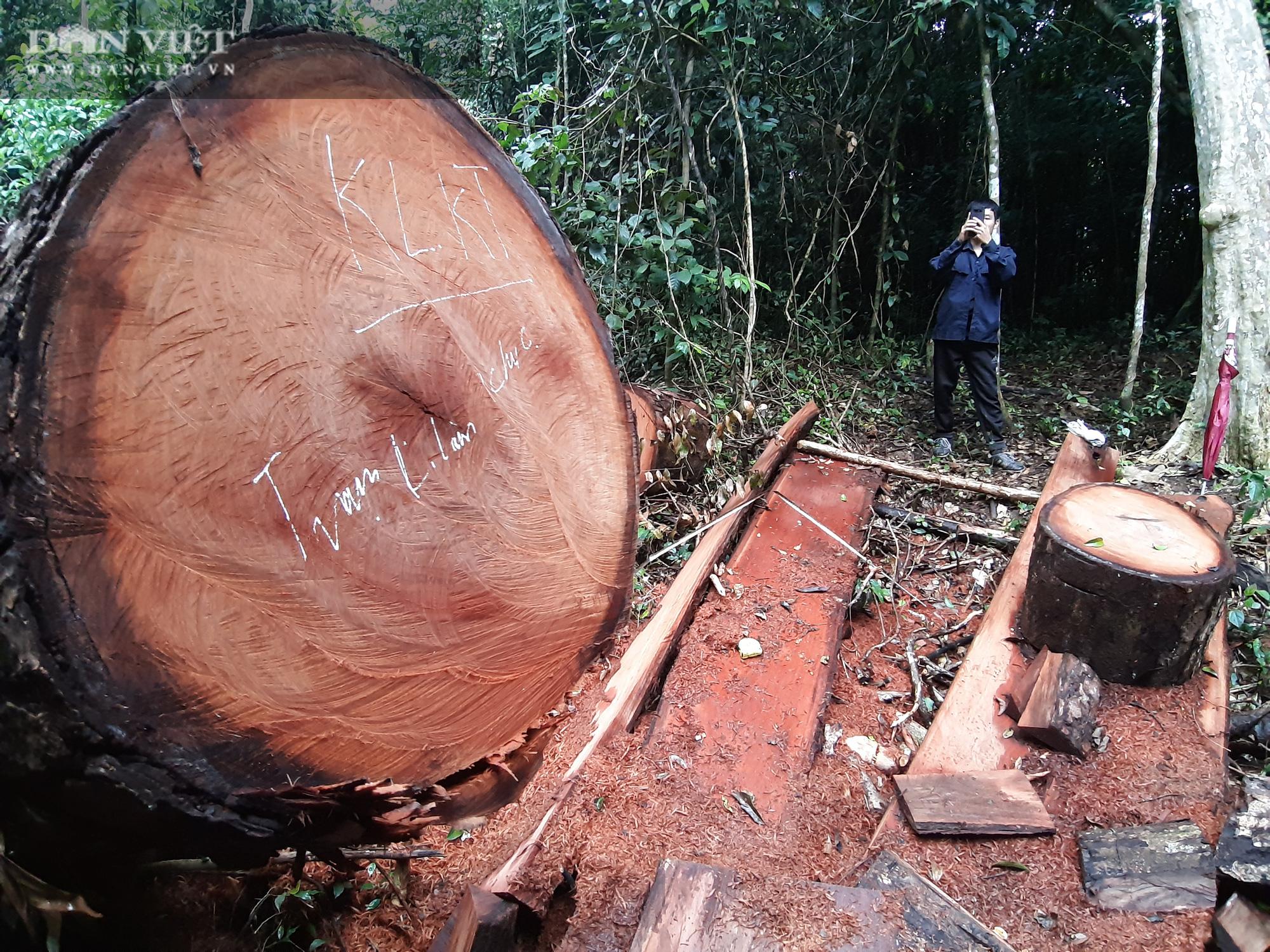 Cục Kiểm lâm đề kiểm tra, xử lý tình trạng phá rừng nghiến sau loạt bài phản ánh của Dân Việt - Ảnh 2.