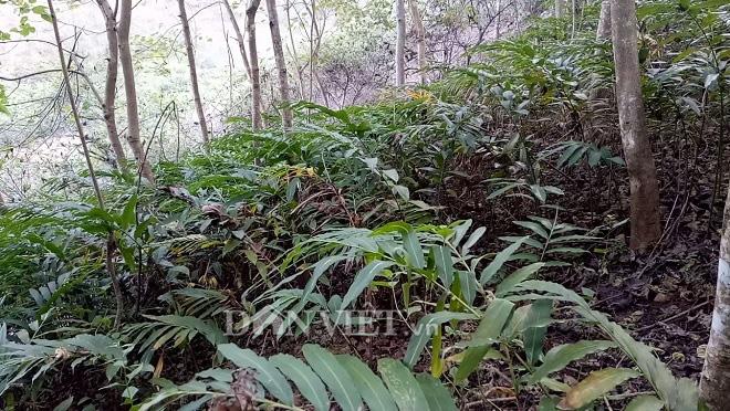 Trồng cây dược liệu trong rừng, nông dân vùng cao thoát nghèo  - Ảnh 3.